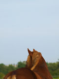 Suffolk Punch. A Suffolk Punch shoot from behind with head turned royalty free stock photos