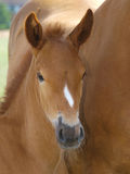 Suffolk Punch  Foal Stock Photo