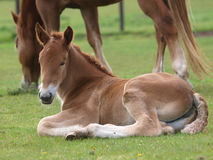 Suffolk Punch Foal Stock Photos