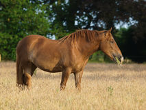 Suffolk Punch Grazing Royalty Free Stock Photography