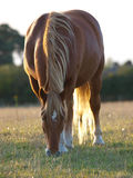 Suffolk Punch Grazing Royalty Free Stock Photos