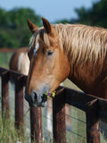 Suffolk Punch Head Shot Stock Images