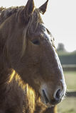 Suffolk Punch horse head in profile Royalty Free Stock Images