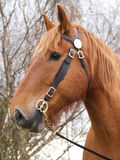 Suffolk Punch Horse Head Shot Royalty Free Stock Images