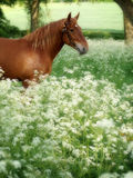 Suffolk Punch Horse in Summer Meadow Stock Photo