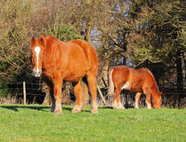 Suffolk Punch Horses Stock Photo