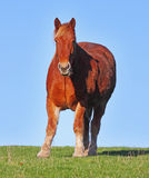 Suffolk Punch Horses Stock Image