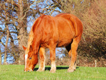 Suffolk Punch Horses Royalty Free Stock Images