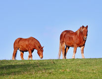 Suffolk Punch Horses. Grazing in an English Meadow Royalty Free Stock Image