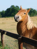 Suffolk Punch Horses Scratching Royalty Free Stock Photo
