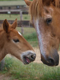Suffolk Punch Mare and Foal Royalty Free Stock Photography