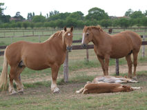 Suffolk Punch Mares and Foals Royalty Free Stock Photo