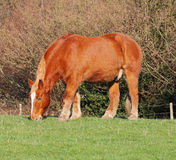Suffolk Punch Stallion Stock Photography