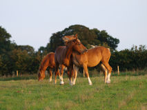 Suffolk Punch Yearlings Stock Images