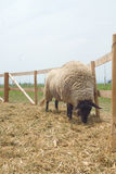 Suffolk sheep Royalty Free Stock Image