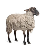 Suffolk sheep - (6 years old). In front of a white background royalty free stock photos