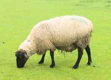 Suffolk Sheep. Sheep on the grass taken near Mont Saint Michel, France Stock Photos