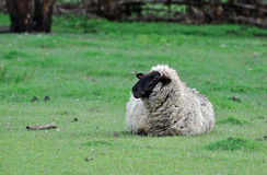 A Suffolk sheep alone in paddock Stock Photography