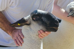 Suffolk Sheep Royalty Free Stock Photography