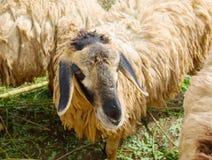 Suffolk sheep Royalty Free Stock Photos