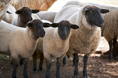 Suffolk sheep Royalty Free Stock Images