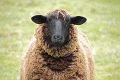 Suffolk Sheep Royalty Free Stock Photo