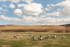 Suffolk sheep grazing on rolling hills Royalty Free Stock Image