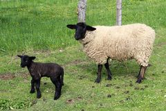 Suffolk sheep with lamb Stock Photo