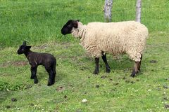 Suffolk sheep with lamb. Suffolk sheep family on the pasture Royalty Free Stock Photo