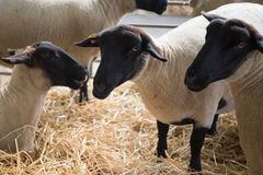 Suffolk sheep with mother sheep on the farm Stock Photography