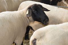 Suffolk sheep with mother sheep on the farm Royalty Free Stock Photo