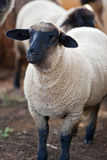 Suffolk sheep Stock Image