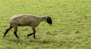 A suffolk sheep taking a stroll. Strolling through the pasture a Suffolk sheep is looking for a place to graze royalty free stock photography