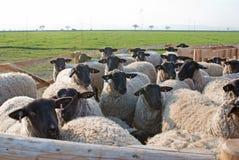 Suffolk sheeps Royalty Free Stock Photos