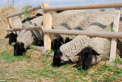 Suffolk sheeps Stock Foto's
