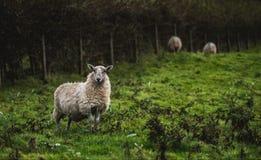 Suffolk-und Maultier-Zucht Lizenzfreies Stockfoto