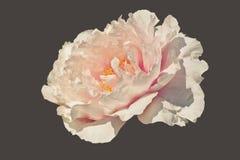 Suffruticosa del Paeonia de la flor de la peonía del árbol aislado con el recortes Imagenes de archivo