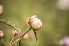 Suffruticosa del Paeonia que comienza a florecer Fotografía de archivo libre de regalías
