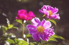 Suffruticosa do Paeonia foto de stock royalty free