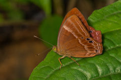 Suffused double banded Judy Butterfly Stock Image