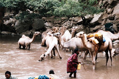 Sufi omar camels Stock Photos
