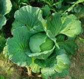 Suficiente economia, vegetal que planta para comer-se fotografia de stock royalty free