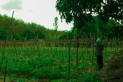 Suficiente economia, vegetal que planta para comer-se fotografia de stock
