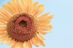 向日葵的花粉 库存照片