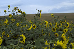 Suflower fields Stock Image