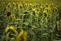 Suflower fields Stock Photo