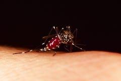 Sugação do mosquito, completa do sangue Fotografia de Stock