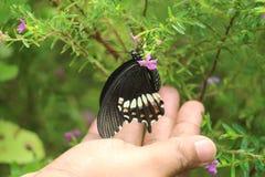 suga för fjärilshonung Arkivfoto