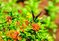 suga för fjärilsnectar Fotografering för Bildbyråer