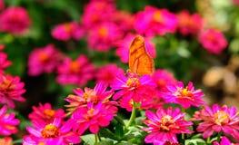 suga för fjärilsnectar Arkivfoton